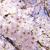 """""""はるほのか""""が『ガイアの夜明け』3/31に!山海堂の和菓子の通販お取り寄せ方法と口コミ"""