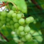 キッチンが走る ワイン ココファーム@栃木足利のお取り寄せ通販&つぶらぶどう園